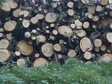 ptif_bt515-troncos-cortados
